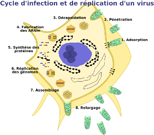 a general description of the ebola virus Ebola virus disease (evd), formerly known as ebola haemorrhagic fever,  the document provides overall guidance for control of ebola and.